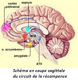 comment les drogues agissent sur le cerveau pdf